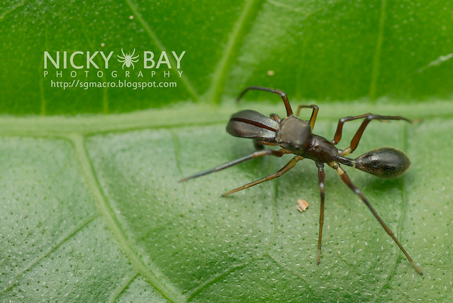 Ant-Mimic Jumping Spider (Salticidae) - DSC_6074