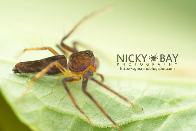 Lynx Spider (Oxyopidae) - DSC_5658
