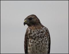 RED-SHOULDERED HAWK #3