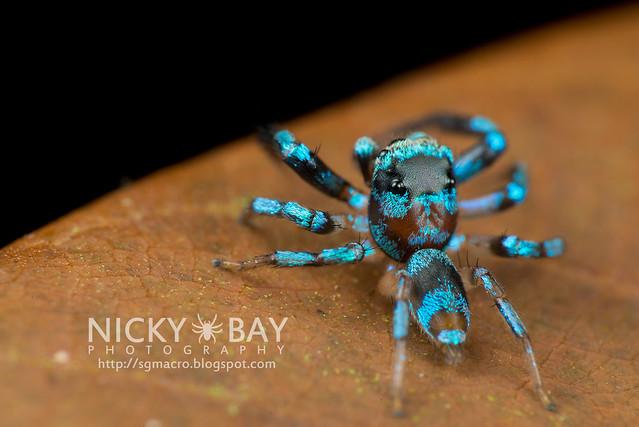 Fighting Spider (Thiania bhamoensis) - DSC_9509