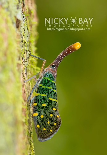 Lantern Bug (Pyrops intricatus) - DSC_9255