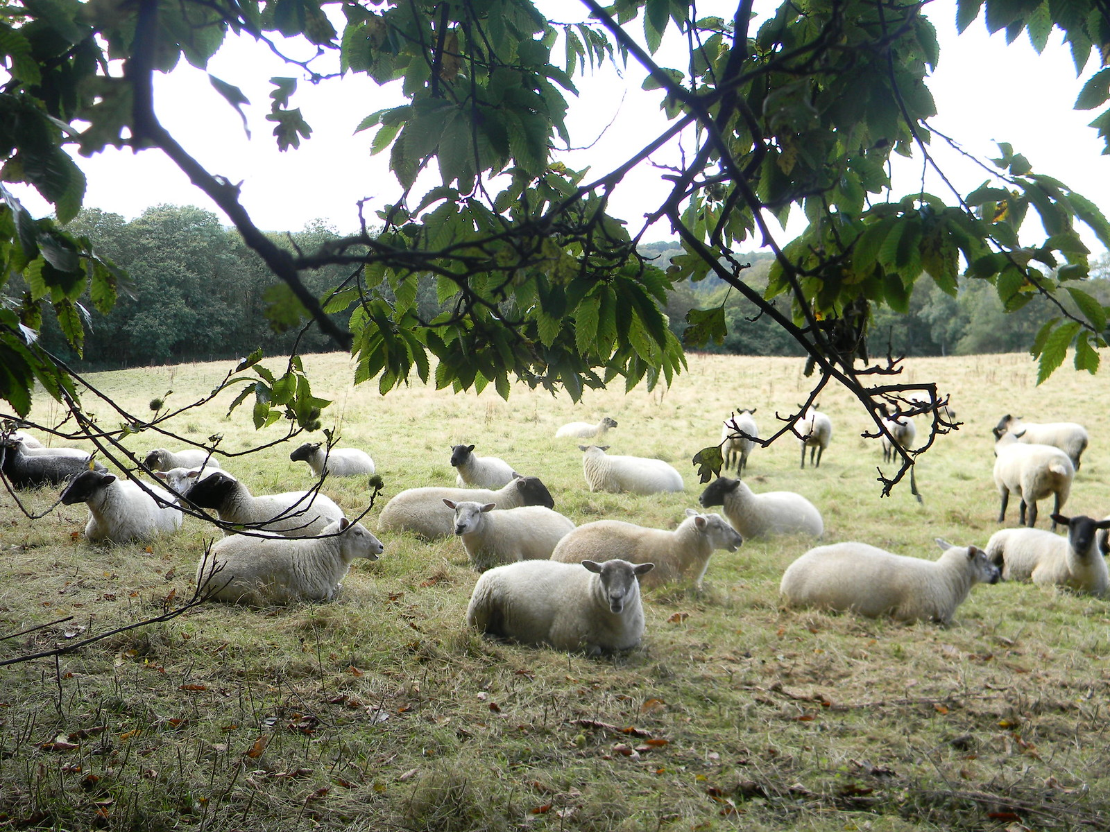 Sheep in the shade Haslemere Circular