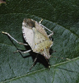 Brown Marmorated Stink Bug (Halyomorpha halys)