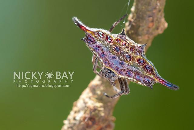 Spiny Back Orb Weaver (Gasteracantha doriae) - DSC_5001