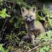 Another picture of fox kit near Gingolx by LisaHufnagel