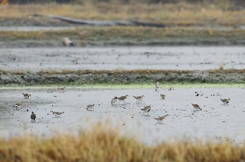 冬天群聚的水雉。(攝影:林青峰)