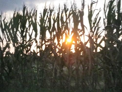Sun through the corn stalks