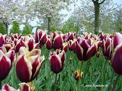 Dutch Tulips, Keukenhof Gardens, Holland - 3967