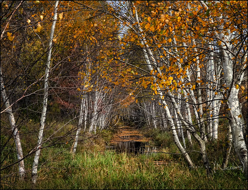 Birch Lined Leaf Covered Creek in Fall Colors