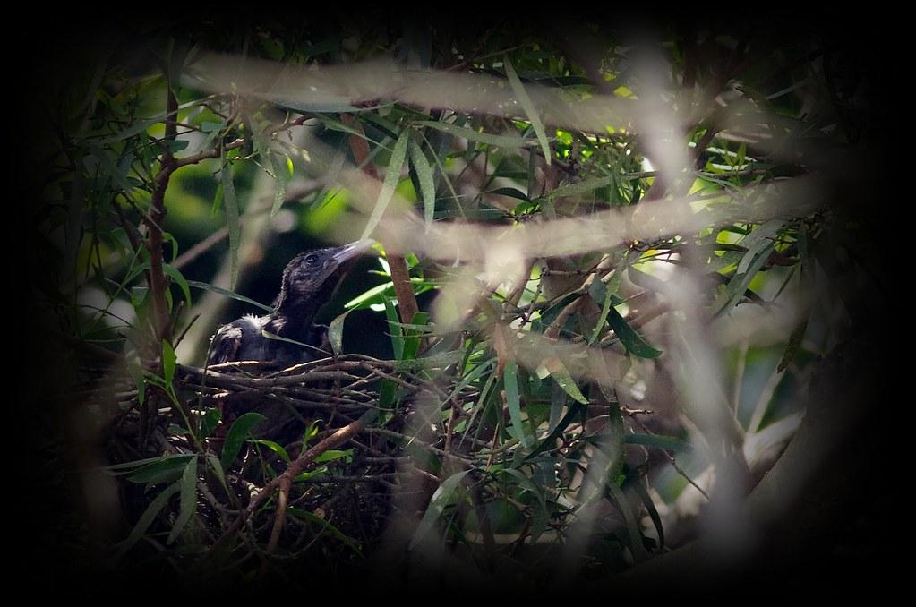 台灣藍鵲寶寶