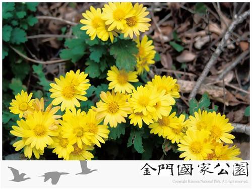 油菊-02