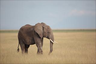 Elephanteau en brousse
