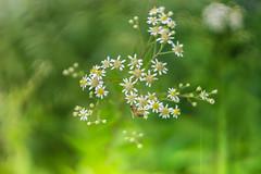 Wild Flower Bee