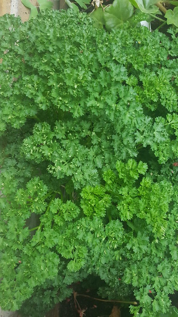 parsley planting in Herb Garden by henwife
