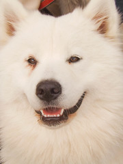 dog breed, nose, animal, akita inu, west siberian laika, akita, dog, japanese spitz, siberian husky, canaan dog, pet, norwegian buhund, volpino italiano, german spitz, white shepherd, canadian eskimo dog, east siberian laika, greenland dog, kishu, northern inuit dog, german spitz mittel, korean jindo dog, native american indian dog, carnivoran, american eskimo dog, samoyed, icelandic sheepdog,