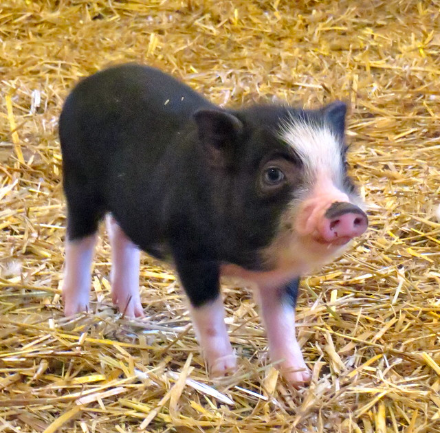 Pot bellied piglet flickr photo sharing - Pot belly pigs as indoor pets ...