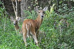 musk deer(0.0), animal(1.0), deer(1.0), fauna(1.0), white-tailed deer(1.0), impala(1.0), wildlife(1.0),