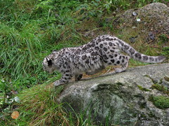 animal, snow leopard, leopard, zoo, mammal, fauna, cat-like mammal, wild cat, wildlife,
