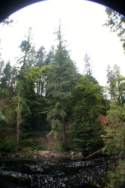 Tall Tree, Falls of Braan