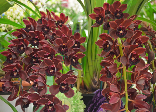 Cymbidium Ruby Pendant 'Midnight'