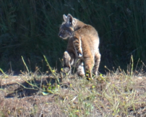 Bobcat by Sally Cat