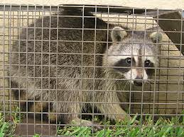 Raccoon Removal. Raccoon trapped.