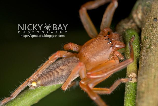 Huntsman Spider (Sparassidae) - DSC_5176