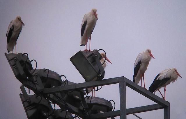Cigüeñas en Tolosa