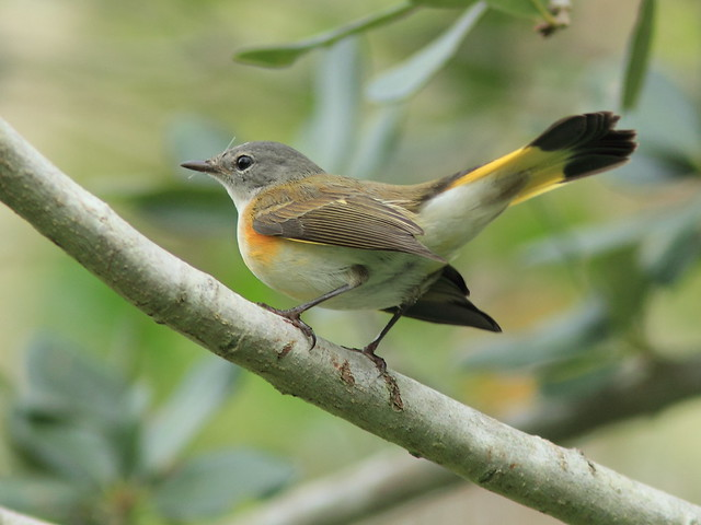 American Redstart 20120919