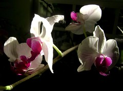 blossom(0.0), cyclamen(0.0), flower(1.0), purple(1.0), plant(1.0), macro photography(1.0), flora(1.0), moth orchid(1.0), floristry(1.0), pink(1.0), petal(1.0),