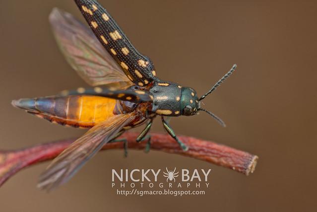 Jewel Beetle (Polyctesis sp.) - DSC_5909
