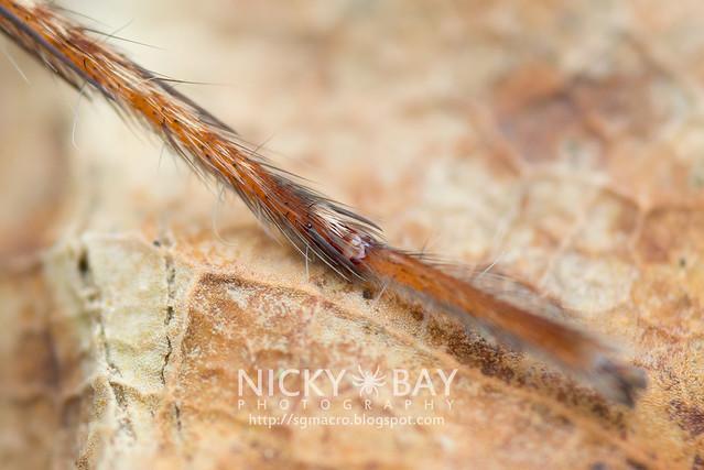 Huntsman Spider (Sparassidae) - DSC_5869