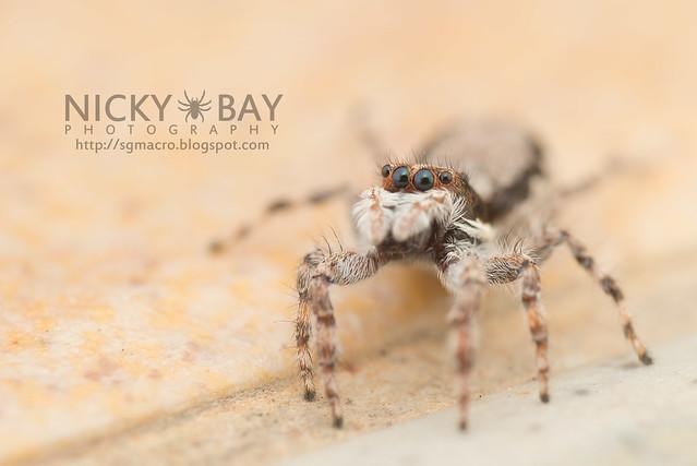 Common House Jumper (Menemerus bivittatus) - DSC_5749