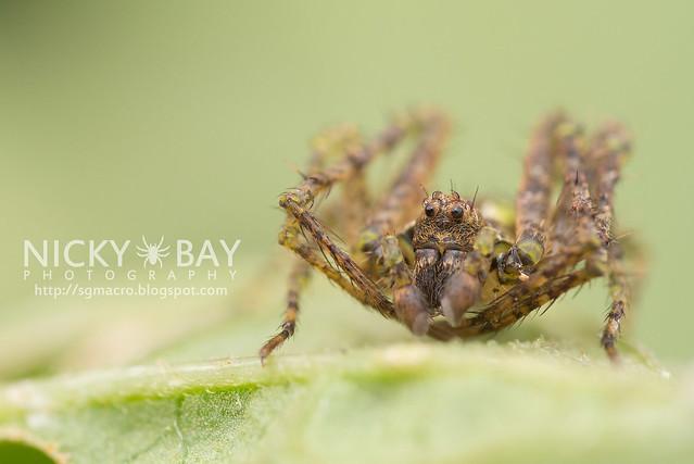 Orb Weaver Spider (Araneidae) - DSC_5677