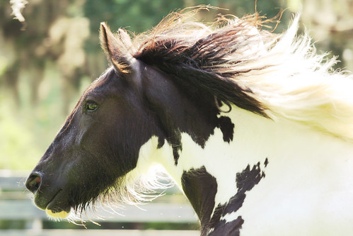 Run With The Wind Magic - (Gypsy Vanner)