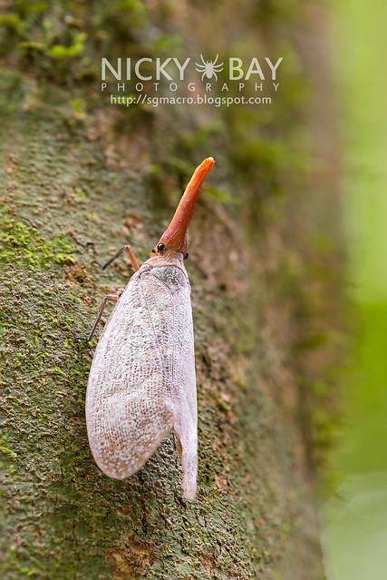 Lantern Bug (Pyrops sultana) - DSC_9232