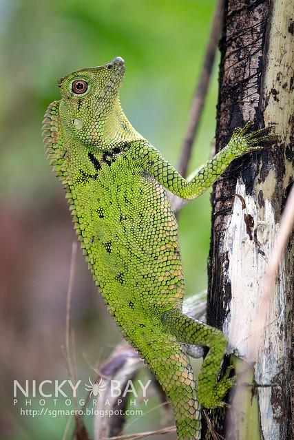 Doria's Anglehead Lizard (Gonocephalus doriae) - DSC_9140