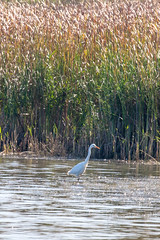 Great White Egret at Wilstone