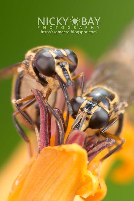 Hoverfly (Graptomyza sp.) - DSC_8308