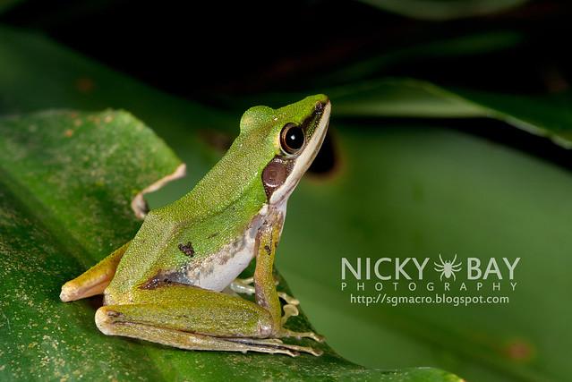 Copper-cheeked Frog (Hydrophylax raniceps) - DSC_7950