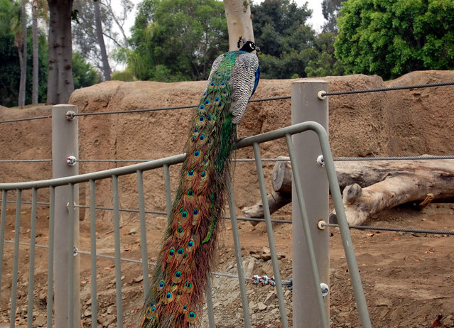 peacock - discounted san diego zoo tickets
