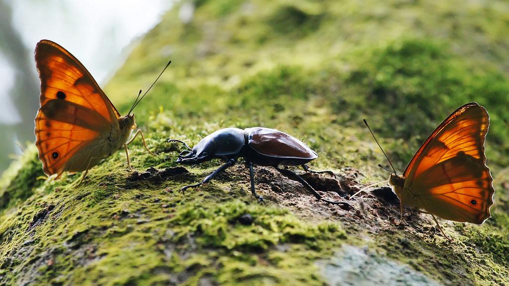 小紫蛺蝶、紅圓翅鍬形蟲-2