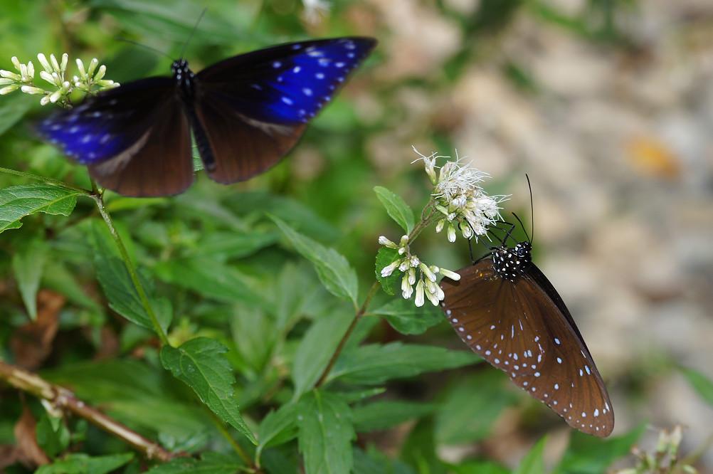 端紫斑蝶-2