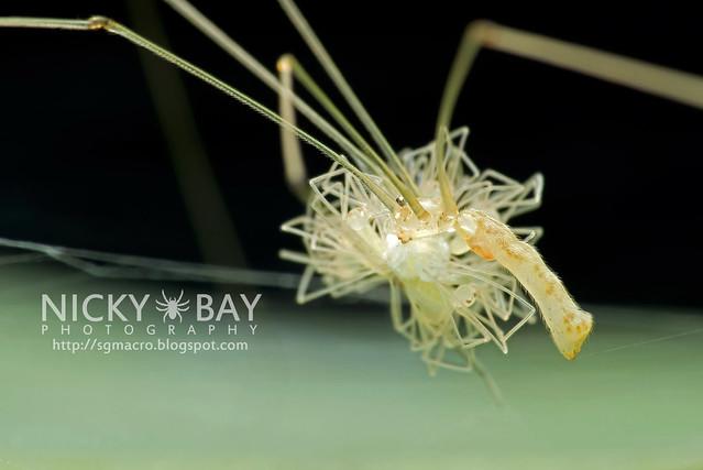 Cellar Spider (Pholcidae) - DSC_6524