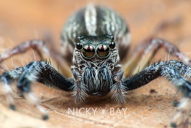 Jumping Spider (Salticidae) - i02830