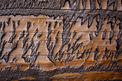 Weathered Bristlecone Trunk