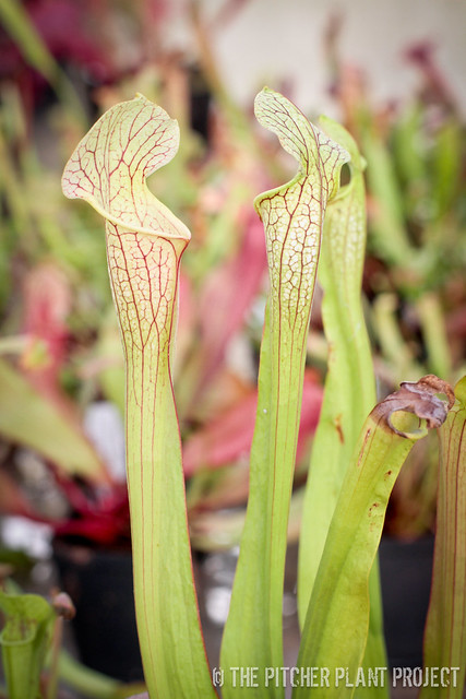 "Sarracenia flava ""Widemouth"" x (leucophylla ""red"" x minor okefenokeensis)"