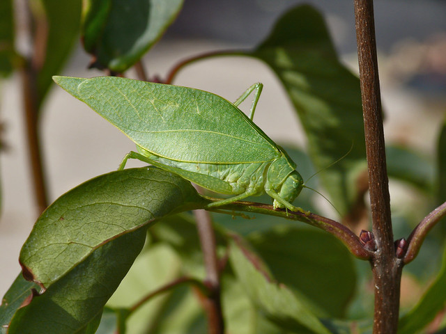 camouflage katydid look like a leaf flickr photo. Black Bedroom Furniture Sets. Home Design Ideas