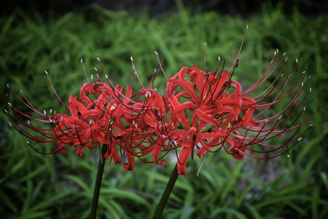 ヒガンバナ Lycoris radiata