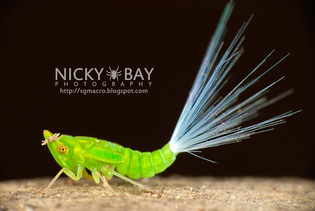 Planthopper nymph (Fulgoromorpha) - DSC_3050